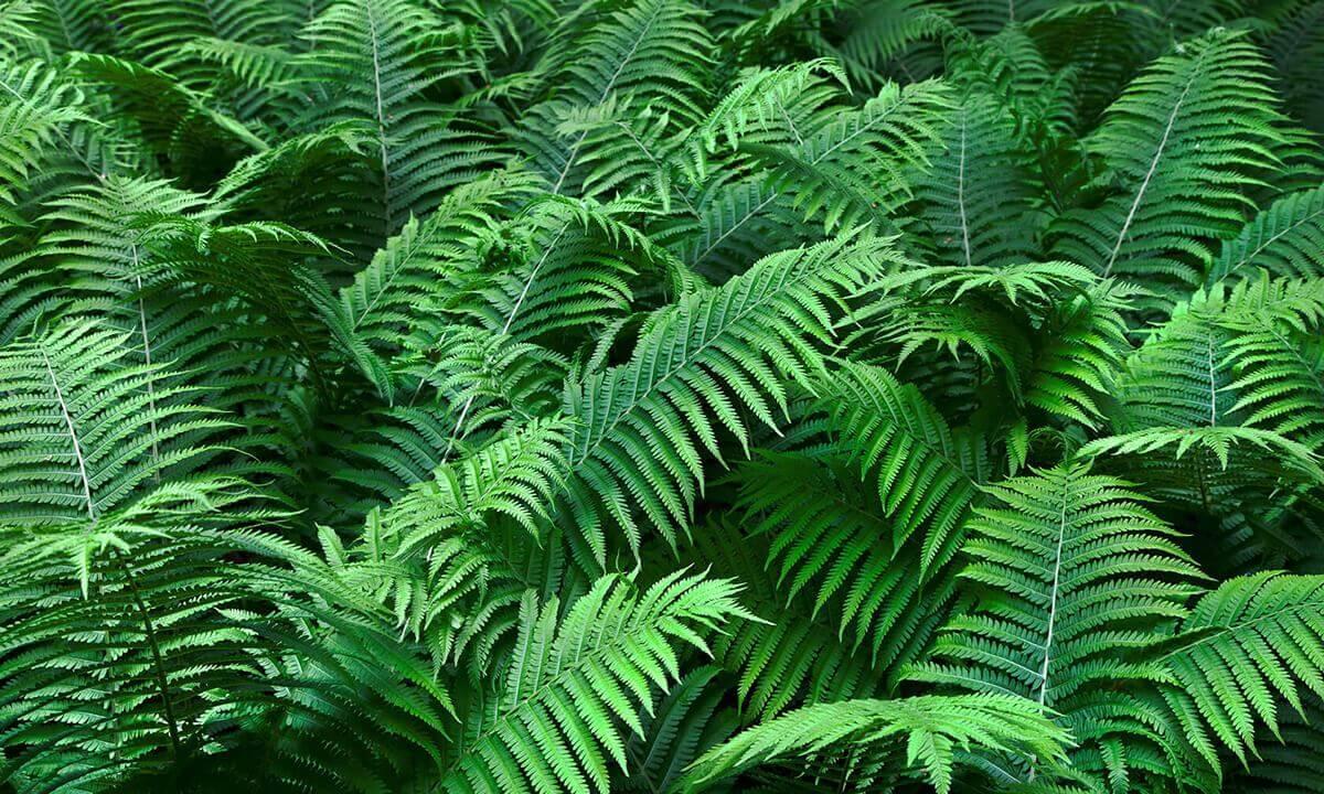 Landscape gardener ferns